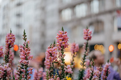 Beautiful flower in Union Square (bady_qb) Tags: 85mmf18 fe85mmf18 sanfrancisco sonya7ii