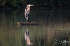 34/52 - Great Blue Heron enjoying the morning sun (jonwhitaker74) Tags: heron brid wildlife