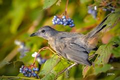 Gray Catbird (jt893x) Tags: 150600mm bird catbird d500 dumetellacarolinensis graycatbird jt893x nikon nikond500 sigma sigma150600mmf563dgoshsms songbird
