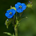 Dayflowers