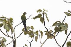 Red-bellied macaw (Kusi Seminario) Tags: peru southamerica puertomaldonado madrededios tambopata rainforest selva jungle amazon amazonas nature outdoors animals animal bird ave guacamayo papagayo macaw