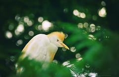 héron garde-boeuf (Chocolatine photos) Tags: héron oiseau animal vert makemesmile photo photographesamateursdumonde nikon nature flickr