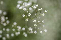Baby Breath 5 (Mabry Campbell) Tags: europe sweden babybreath flower image photo photograph plant f28 mabrycampbell july 2019 july262019 20190726campbellh6a1331 100mm ¹⁄₁₀₀sec 125 ef100mmf28lmacroisusm