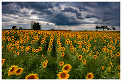 Menace sur les tournesols (Pascale_seg) Tags: paysage landscape countryscape tournesols sunflower girasoli jaune yellow giallo summer été estate champs campagne nuages clouds moselle lorraine grandest france nikon pascales