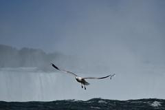 Flight Over The Falls (kaprysnamorela) Tags: niagarafalls niagara flight seagull bird wings water falls mist sky ontario canada nikond3300