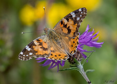 DSC1546  Painted Lady... (Jeff Lack Wildlife&Nature) Tags: paintedlady butterflies butterfly lepidoptera insects insect wildlife wildbirds wetlands woodlands woodland fields flowers wildflowers wildlifephotography jefflackphotography heathland hedgerows heathlands heaths parklands glades grasslands nectaring moorland marshland meadows marshes nikon naturephotography nature