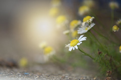 Beach Walk... (KissThePixel) Tags: nikon light sunlight summer august flowers flower beautiful nikond750 70200mm sigma sigma70200mm sigmamacrolens f28 bokeh macro beach beachwalk daisy daisies daisys perspective