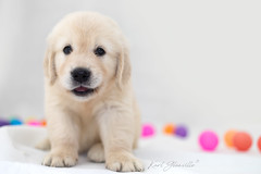 Puppy Vibes (glank27) Tags: goldenretriever puppy dog cute face look smile k9 canon eos 5d mark iv karl glanville yongnuo yn568exii speedlite single flash studio photography ef50mm f18ii