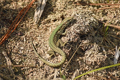 Wall Lizard (Podarcis muralis) (Sky and Yak) Tags: podarcismuralis wall lizard podarcis muralis bournemouth dorset uklizards nature naturalworld reptile reptilesandamphibians herpetology herp scales basking bask beach green