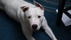 Goku's bewitching eye (papagaulo) Tags: sony white blue 85mm mirrorless minolta animal pet dog jackrussel pit ohio columbus puppy animalfriend nature