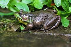 Waiting For A Bug (Diane Marshman) Tags: frog amphibian green brown black yellow skin spots leaves plants wet rocks stones summer pa pennsylvania nature