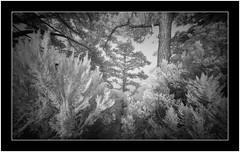 Tree heather and canarian pine, Isla de La Palma, Canary Islands (Bartonio) Tags: bw canaryislands garafía ir islascanarias lapalma sonya7ir blanconegro infrared laowa1018mm45 modified