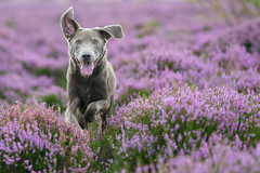 Run in field (The Papa'razzi of dogs) Tags: lyng landscape pet nature dog outdoor labrador hund animal