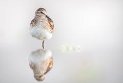 Semipalmated Sandpiper Portrait & Reflection (rmikulec) Tags: shorebird fall migration birding nature animal reflection ornithology sony 200600