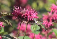 Ruby-throated Hummingbird (prairiedog (in and out)) Tags: rubythroatedhummingbird bird birds wildlife nature assiniboinepark leomolgardens winnipeg manitoba canada