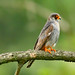 Redfooted Falcon 2019-06-04_14