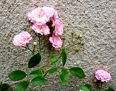 Pink roses against wall (Leimenide) Tags: flowers garden summer blooms blossoms rose pink wall