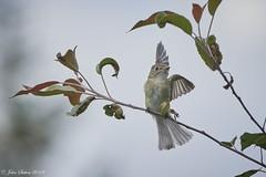 Least Flycatcher (johnsutton580) Tags: corinth vermont unitedstates