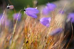 (Kirill & K) Tags: avalyak ridge south ural morning flower bluebell nature wild хребет аваляк южный урал утро колокольчики цветы дикая природа лето summer achromat3303