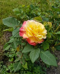 Yellow rose (Leimenide) Tags: flowers garden summer blooms blossoms rose