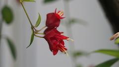 Marmorierter Äschnanthus (Aeschynanthus Longicaulis) (1elf12) Tags: schamblume flower germany deutschland marmorierteräschnanthus aeschynanthuslongicaulis berlin botanischergarten tropenhaus blume blossom blüte