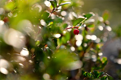 Брусника (Kirill & K) Tags: avalyak ridge south ural summer morning nature wild lingonberry cowberry foxberry хребет аваляк южный урал утро дикая природа брусника лето achromat3303