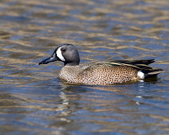 DSC_6117.Blue-winged Teal Duck (laurie.mccarty) Tags: duck pond water bluewingedtealduck nature naturephotography animal bird