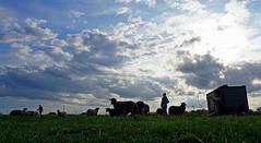 DSC03450 (Argstatter) Tags: bentheimer landschafe natur huftiere tier stimmungen blockland bremen