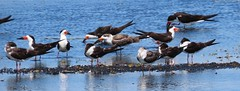Black Skimmers (YoungSue) Tags: bird avian skimmer