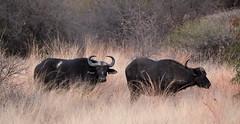 BIG 5. Buffalo. Pilanesberg Game Reserve. South Africa. Aug/2019 (EBoechat) Tags: pilanesberg game reserve south africa aug2019 big 5 buffalo bufalo