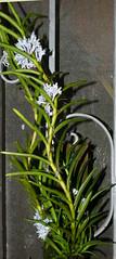 Cleisocentrum gokusingii species orchid 7-19 (nolehace) Tags: cleisocentrum gokusingii species orchid 719 blue plant bloom flower summer nolehace sanfrancisco fz1000