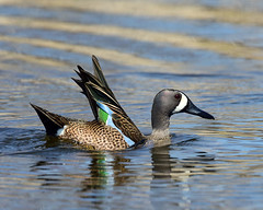 DSC_6145.040119 Blue-winged Teal Duck (laurie.mccarty) Tags: bluewingedtealduck duck water pond nature wildlife animal bird