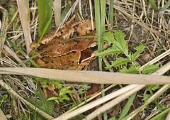 Common Frog (Prank F) Tags: woodwaltonfen greatfen wildlifetrust huntingdonuk wildlife nature macro closeup amphibian frog common
