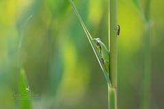Europäischer Laubfrosch (moments in nature by Antje Schultner) Tags: europäischer laubfrosch european tree frog schilf see neusiedlersee käfer makro macro naturephotography camouflage
