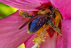 Bee Active (SweetCreek) Tags: blossom wings hive pollen flower garden pollination bee active summer nature cute funny