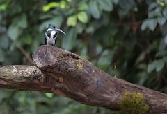 Amazon Kingfisher (Ben Locke.) Tags: costarica amazon kingfisher amazonkingfisher bird birds wild wildlife nature