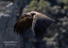 Griffon Vulture (Gyps fulvus) (George Wilkinson) Tags: torrejónelrubio cáceresprovince spain caceres monfrague national park bird wildlife european griffon eurasian vulture gyps fulvus gypsfulvus canon 7d 400mm mk ii