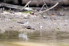 spotted sandpiper (Radar Boy) Tags: dalewoodreservoir avian bird shorebird