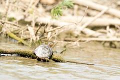 painted turtle (Radar Boy) Tags: dalewoodreservoir avian bird shorebird