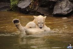 Eisbären Hertha und Tonja im Tierpark Berlin 18.08.2019 145 (Fruehlingsstern) Tags: eisbär polarbear tonja hertha tierpark berlin tamron16300 canoneos77