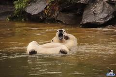 Eisbären Hertha und Tonja im Tierpark Berlin 18.08.2019 144 (Fruehlingsstern) Tags: eisbär polarbear tonja hertha tierpark berlin tamron16300 canoneos77