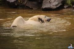 Eisbären Hertha und Tonja im Tierpark Berlin 18.08.2019 141 (Fruehlingsstern) Tags: eisbär polarbear tonja hertha tierpark berlin tamron16300 canoneos77