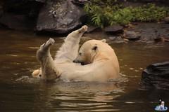 Eisbären Hertha und Tonja im Tierpark Berlin 18.08.2019 139 (Fruehlingsstern) Tags: eisbär polarbear tonja hertha tierpark berlin tamron16300 canoneos77