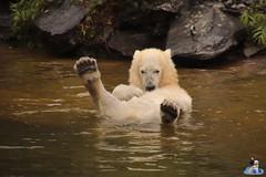Eisbären Hertha und Tonja im Tierpark Berlin 18.08.2019 135 (Fruehlingsstern) Tags: eisbär polarbear tonja hertha tierpark berlin tamron16300 canoneos77