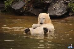 Eisbären Hertha und Tonja im Tierpark Berlin 18.08.2019 134 (Fruehlingsstern) Tags: eisbär polarbear tonja hertha tierpark berlin tamron16300 canoneos77
