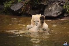 Eisbären Hertha und Tonja im Tierpark Berlin 18.08.2019 133 (Fruehlingsstern) Tags: eisbär polarbear tonja hertha tierpark berlin tamron16300 canoneos77