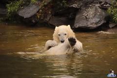 Eisbären Hertha und Tonja im Tierpark Berlin 18.08.2019 132 (Fruehlingsstern) Tags: eisbär polarbear tonja hertha tierpark berlin tamron16300 canoneos77
