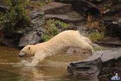 Eisbären Hertha und Tonja im Tierpark Berlin 18.08.2019 130 (Fruehlingsstern) Tags: eisbär polarbear tonja hertha tierpark berlin tamron16300 canoneos77