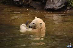 Eisbären Hertha und Tonja im Tierpark Berlin 18.08.2019 128 (Fruehlingsstern) Tags: eisbär polarbear tonja hertha tierpark berlin tamron16300 canoneos77