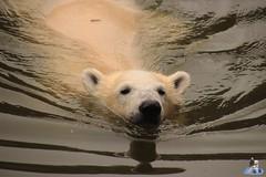 Eisbären Hertha und Tonja im Tierpark Berlin 18.08.2019 127 (Fruehlingsstern) Tags: eisbär polarbear tonja hertha tierpark berlin tamron16300 canoneos77